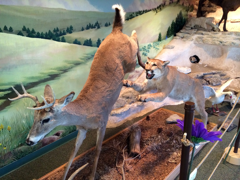 Exhibit in the nature center - mountain lion about to unleash pain on deer