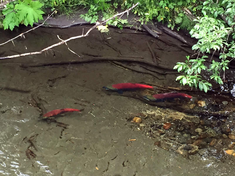 Sockeye salmon swimming upstream