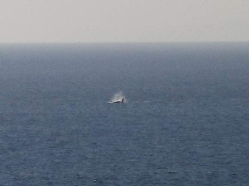 Only had a limited zoom on my small handheld digital camera but it's a whale